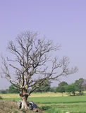 Leafless Tree Royalty Free Stock Photos
