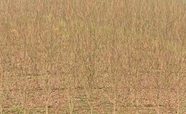 Leafless tree in dry season Royalty Free Stock Photos