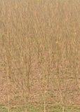 Leafless tree in dry season Stock Image