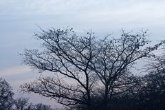 LEAFLESS TREE AT THE END OF WINTER AGAINST MORNING SKY IN AFRICA. View of a leafless tree with seed pods against a grey sky in winter royalty free stock image