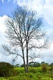 Leafless tree. A leafless tree in fern field Stock Photography