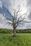 Leafless tree on flowering meadow Royalty Free Stock Photos