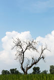 Leafless tree with fluffy clouds. Stock Images