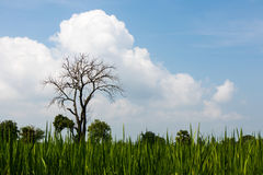 Leafless tree with fluffy clouds. Stock Photos