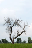 Leafless tree with fluffy clouds. Royalty Free Stock Photo