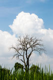 Leafless tree with fluffy clouds. Stock Photography