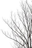 Leafless tree. Form isolated against white sky, Tabebuia tree stock photos