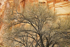 Leafless tree in front of a sandstone wall Royalty Free Stock Photography
