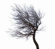 Leafless tree isolated. On white background royalty free stock photography