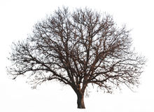 Leafless tree isolated Royalty Free Stock Photos