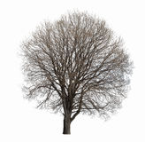 Leafless tree isolated Royalty Free Stock Image