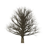 Leafless tree isolated on white background, 3D Illustration. Tree with no leaves isolated on white background Stock Images