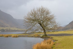 Leafless Tree by the Lake. Leafless Tree by Lake Tal-y-Llyn, Wales, Snowdonia Stock Photos