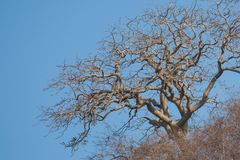 Leafless tree. Against a blue skyn Royalty Free Stock Image