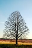 Leafless tree. Lonely leafless tree after autumn season stock photos