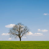 Leafless Tree. Lonely leafless tree on grass field with blue sky stock photography