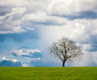 Leafless Tree. Lonely leafless tree on grass field with cloudy sky on a rainy. Square frame stock photography