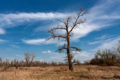 Leafless tree on meadow Royalty Free Stock Image