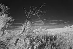 Leafless tree in meadow in infrared Royalty Free Stock Image
