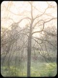 Leafless tree on a misty winter morning. Weeping willow on a frosty morning Stock Image