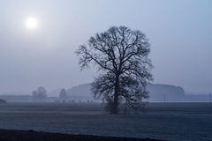 Leafless tree in the morning fog Royalty Free Stock Photos