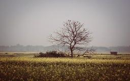 Leafless tree in mustard field Stock Image