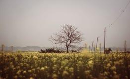Leafless tree in mustard field Royalty Free Stock Photo
