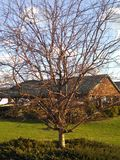 Leafless tree. A leafless tree on a nice day, building in background royalty free stock image