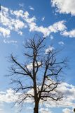 Leafless Tree Reaching Towards a Blue Cloudy Sky. Leafless Tree Silhouette Reaching Towards a Blue Cloudy Sky with its Branches Stock Photography