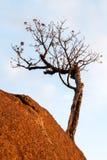 Leafless tree on rock boulder Stock Images