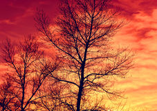 Leafless tree's brunches on red sky background Royalty Free Stock Images
