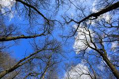 Leafless tree on sky buckground Royalty Free Stock Images