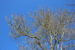 Leafless Tree In Springtime. Season Change. Leafless And Budding Tree. Fresh Young Green Leaves And Clear Blue Sky Sunny Day During Springtime In Europe royalty free stock images