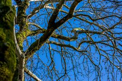 Leafless tree stem covered with moss, springtime. Leafless tree, colorful image with contrast, stem covered with fresh green moss, sunny clear blue sky spring stock images