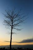 Leafless tree on sunset sky Stock Images