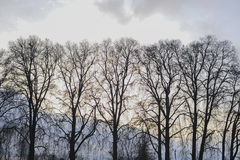 Leafless tree during sunset. In Srinagar India Royalty Free Stock Photo