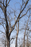 Leafless Tree Tops. And trunks against a blue sky and a few clouds Royalty Free Stock Photos