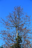 The leafless tree in warm winter season Royalty Free Stock Photography