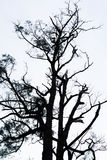 Leafless tree with white background. In Ijen Crater, East Java Stock Photo