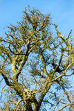 Leafless Tree in Winter with a Crow Stock Photography