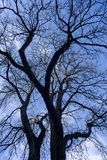 Leafless tree in winter. Leafless tree full of branches in winter stock images