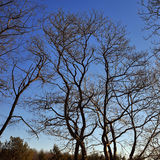 Leafless Trees. Tall leafless trees against a blue sky background royalty free stock image