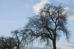 Leafless trees. Apple trees in spring, still without leaves Royalty Free Stock Photo