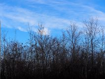 Leafless Trees Against A Blue Sky royalty free stock photography