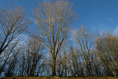 Leafless trees and blue sky. In a sunny autumn morning royalty free stock photos