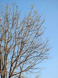 Leafless trees with branches. Background royalty free stock image