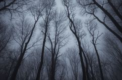 Leafless trees in dark haunted woods. Leafless trees in dark mysterious haunted forest with fog. Night in mysterious forest with fog. Forest background. Haunted royalty free stock photo