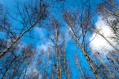 Leafless trees in forest on sky background Stock Images
