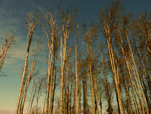 Leafless trees Stock Image