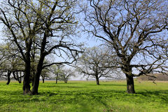 Leafless trees on green meadow Royalty Free Stock Photography